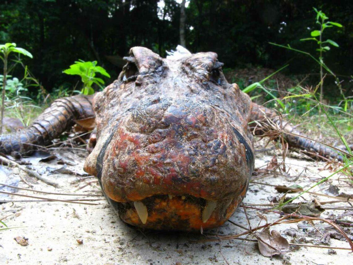 Crocodile jaune du Gabon